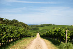 Vinyards. Road among vinyards on slovenian coast Stock Photos