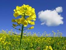 Viol en fleur Photo stock