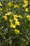 Viol fleurissant Photo stock
