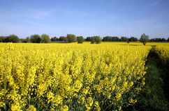 Viol jaune Images stock