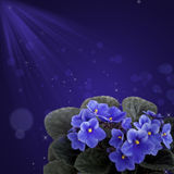 Violа violet  design background. Royalty Free Stock Image