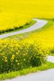 Violação amarela da semente oleaginosa Imagens de Stock Royalty Free