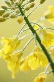 Violação de semente oleaginosa Fotos de Stock