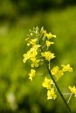 Violação de semente oleaginosa Imagens de Stock