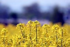 Violação do petróleo - napus L do Brassica foto de stock royalty free