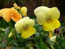 viola żółte obraz stock