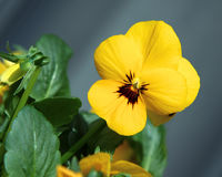 viola żółty Fotografia Royalty Free