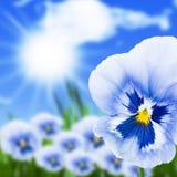 viola ήλιων λουλουδιών Στοκ Εικόνες