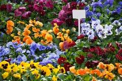viola λουλουδιών ανασκόπησ&eta Στοκ Εικόνες