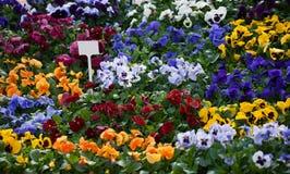 viola λουλουδιών ανασκόπησ&eta Στοκ Φωτογραφία
