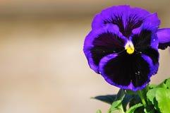 Viola Immagine Stock