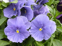 Viola Royalty Free Stock Image