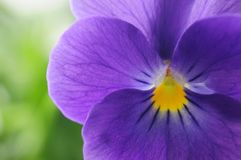 Viola Royalty Free Stock Images