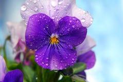 Viola. Purple viola flower with blur background Royalty Free Stock Image