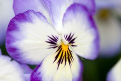Viola. Purple and white viola flower Stock Image