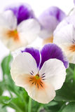 Viola. Multi colored spring viola close up background Royalty Free Stock Image