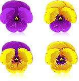 Viola Stock Images