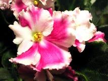 Viola africana Immagini Stock