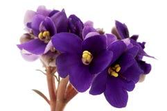 Viola africana Fotografie Stock Libere da Diritti