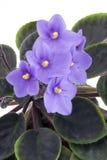 Viola africana Fotografie Stock