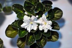 Viola africana bianca Fotografie Stock Libere da Diritti