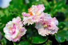Viola africana dentellare Fotografia Stock