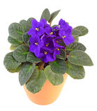 Viola africana in flowerpot immagini stock