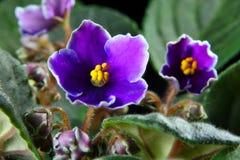 Viola africana (Saintpaulia) Immagini Stock
