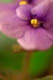 Viola africana, SaintPaulia, primo piano Fotografia Stock Libera da Diritti