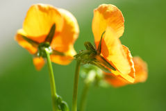 Viola amarilla Fotografía de archivo libre de regalías