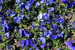 Viola azul com um núcleo amarelo em uma cama de flor imagens de stock royalty free
