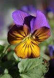 Viola Bedding Plant bicolore fotografie stock libere da diritti