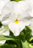 Viola bianca del giardino fotografia stock libera da diritti