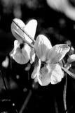 Viola in bianco e nero Fotografia Stock