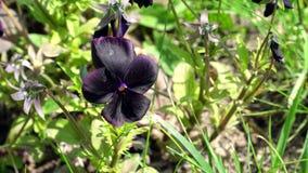 Viola Black Star Flowers stock video footage