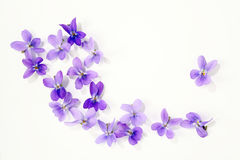 Viola blossoms Stock Photography