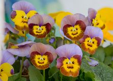 Viola blossoms with smiling faces. Closeup of viola blossoms three-colored, looking like smiling faces Royalty Free Stock Photo