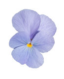 Viola blue Pansy Flower Isolated on White Background. Stock Image
