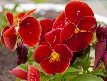 Viola-Blume Stockfotos