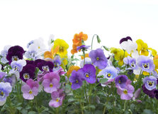 Viola border. Viola (pansy) border isolated on white Royalty Free Stock Images