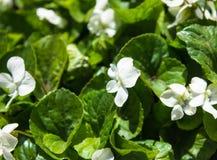 Viola branca Imagens de Stock Royalty Free