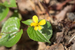 Viola brevistipulata Stock Photo