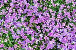 Viola calcarata Royalty Free Stock Images