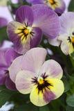 Viola 'Caramella' Stock Photography