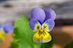 Viola close-up shot Royalty Free Stock Photo