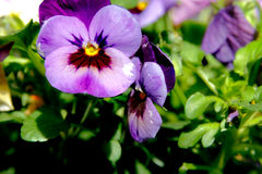 Viola Cornet Macro Shot. Botanic gardening plant : macro shot of purple viola cornuta (horned pansy or horned violet stock images