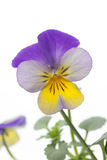 Viola cornuta Royalty Free Stock Photos