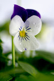 Viola Cornuta - April Showers. April Showers bring Pansies to life. Viola cornuta is a hardy early spring flowering plant that remain compact in both heat and Stock Photos