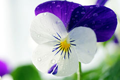 Viola Cornuta - April Showers Royalty Free Stock Photo