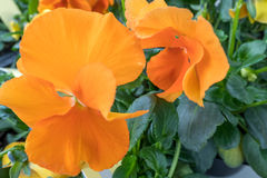 Viola cornuta. Close up view of a violet with inflated orange leaves Royalty Free Stock Image